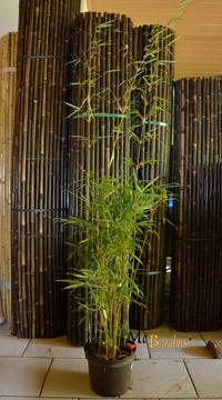 fargesia bambus winterhart bildet keine ausl ufer und. Black Bedroom Furniture Sets. Home Design Ideas