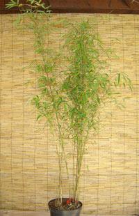 bambuspflanzen der sorte bambusa tropischer bambus und. Black Bedroom Furniture Sets. Home Design Ideas